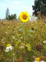 Sommer/284407/sonnenblume-allein-im-hohen-gestrueb-bei Sonnenblume allein im Hohen Gestrüb bei Beuchow am 6.8.13